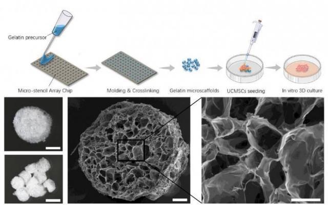 """科学家开发的海绵状 """"冷冻干凝胶""""可缓慢释放干细胞 逆转小鼠关节炎"""