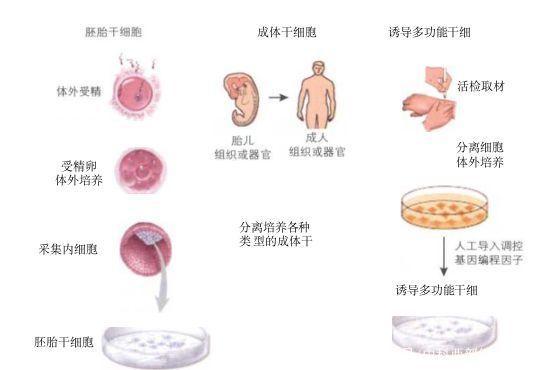 什么是干细胞?这里全面解释