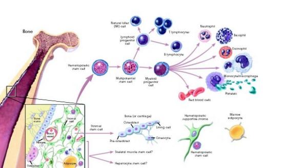 干细胞和免疫细胞有何不同?让我们一探究竟!