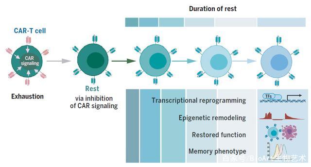 以退为进——增强CAR-T细胞免疫治疗新思路