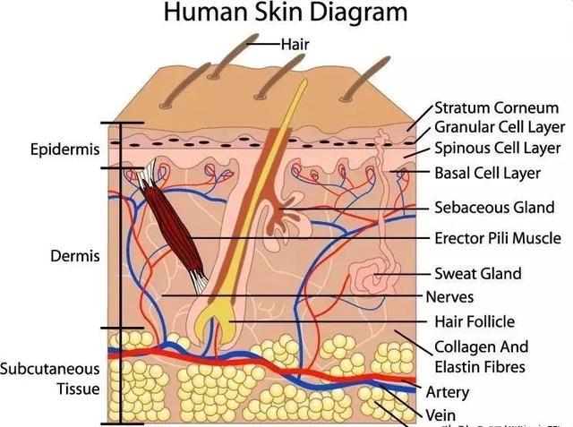 干细胞在皮肤抗衰老领域的应用,从细胞开始重返青春