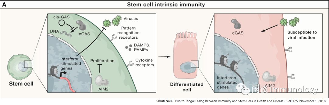 有意思的关系:干细胞与驻留免疫细胞的相互作用
