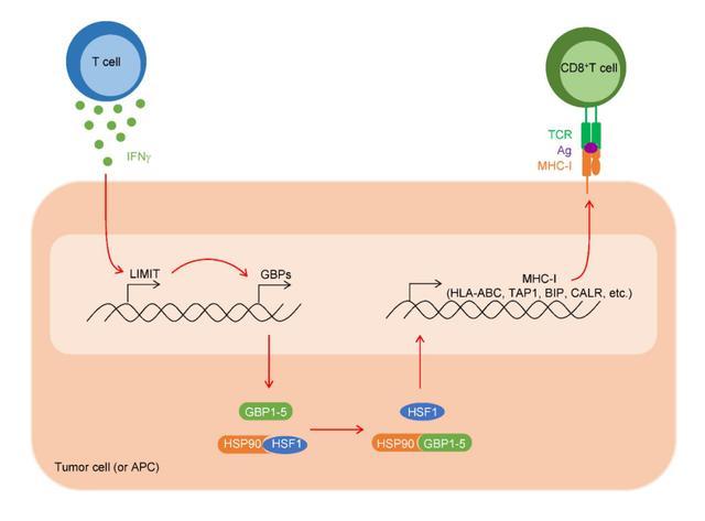 邹伟平团队Nature子刊揭示癌症中首个免疫原性lncRNA