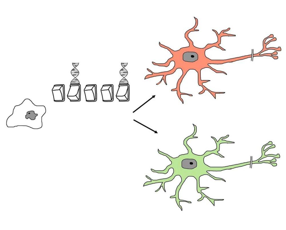 【干货】一篇文章带你分清干细胞、免疫细胞