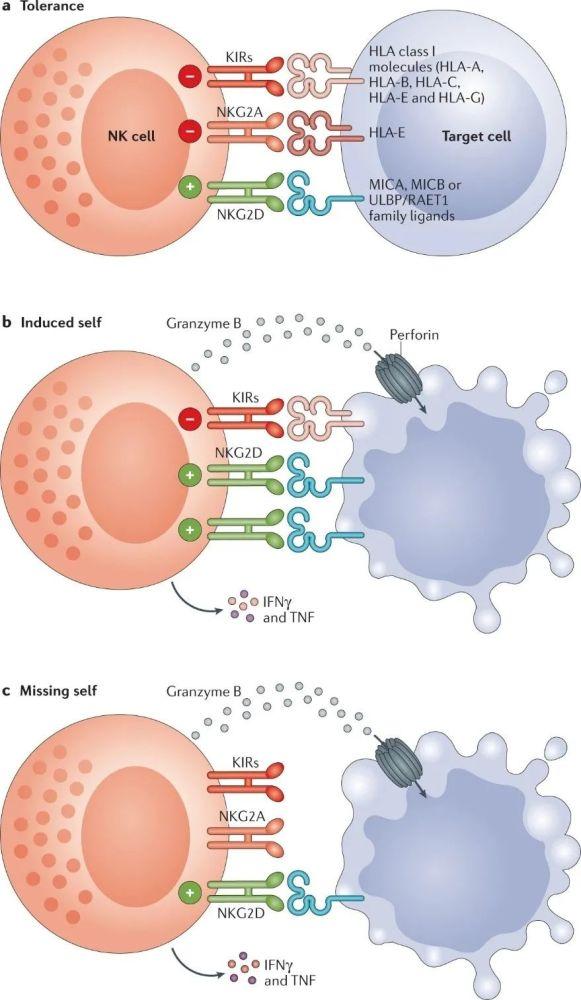 【干活】肿瘤NK细胞免疫疗法大揭秘