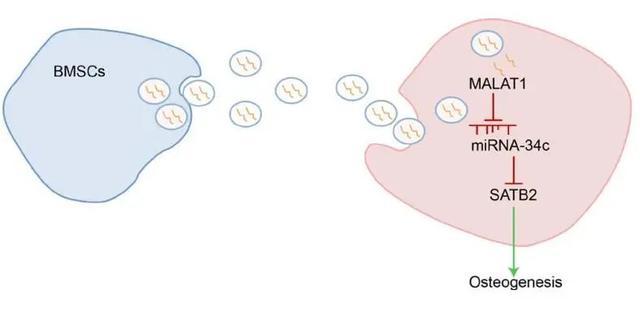干细胞技术的下一个发展方向:外泌体