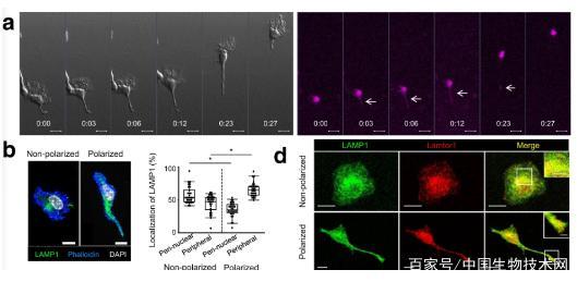 日本研究人员Nature子刊揭示免疫细胞迁移的新分子机制