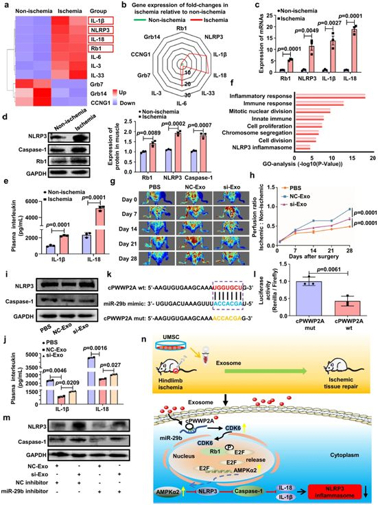 Nature子刊:我国科学家揭示干细胞衍生性外泌体修复缺血性肌肉损伤机制
