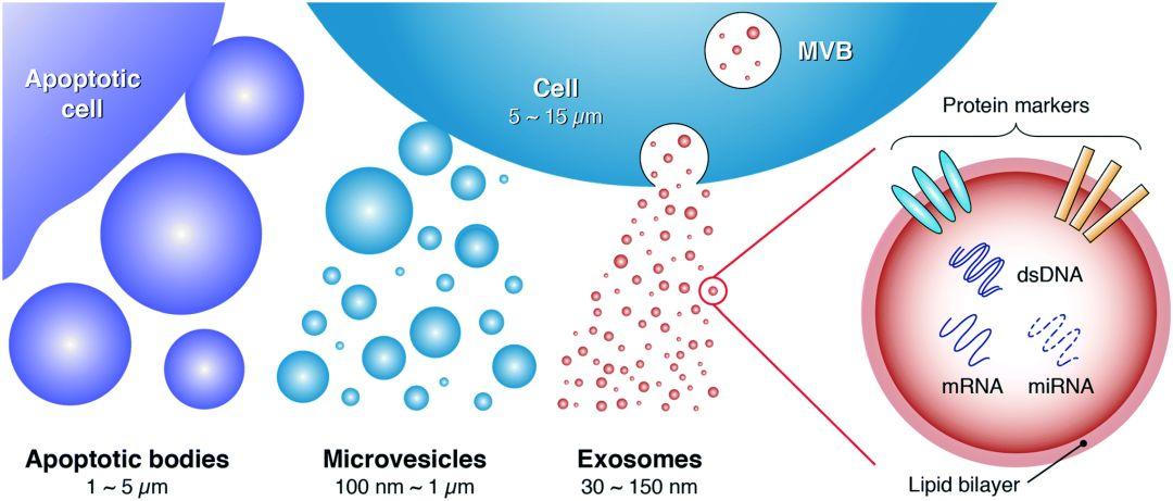 干细胞的下一个风口,或许是干细胞外泌体