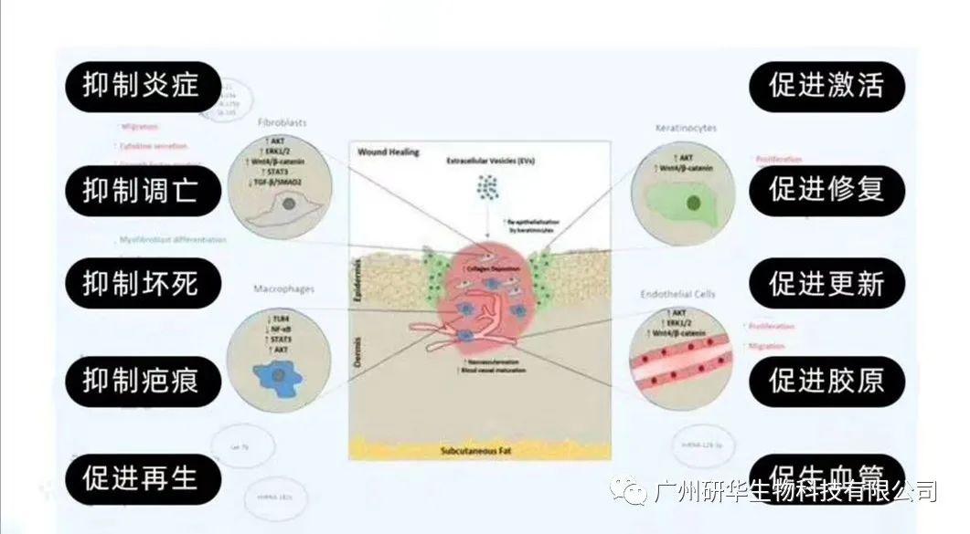 外泌体在皮肤修复与抗衰老中达到的效果