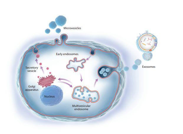 外泌体技术让细胞抗衰成为可能!