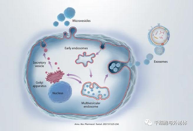 干细胞行业新宠——外泌体治疗候选药物