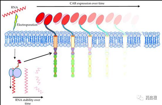 针对实体瘤的 CAR-T 细胞临床试验的安全性和结果