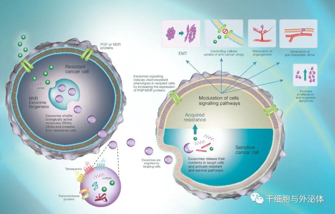 外泌体与再生医学:无细胞疗法临床应用的未来