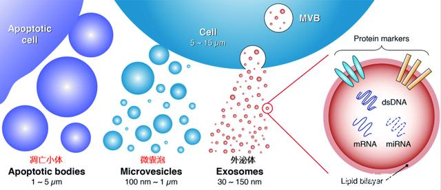 干细胞外泌体研究进展,对临床疾病治疗具有重要意义