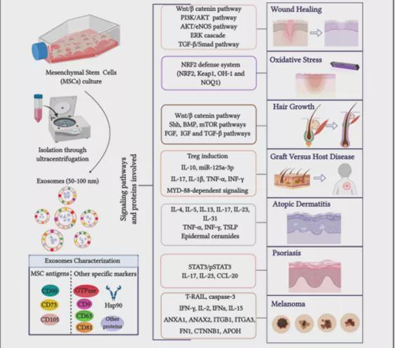 干细胞外泌体在皮肤病领域的应用:伤口愈合、抗衰、毛发再生……